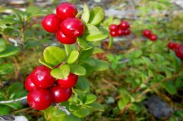 Tasty lingonberries in the wild.