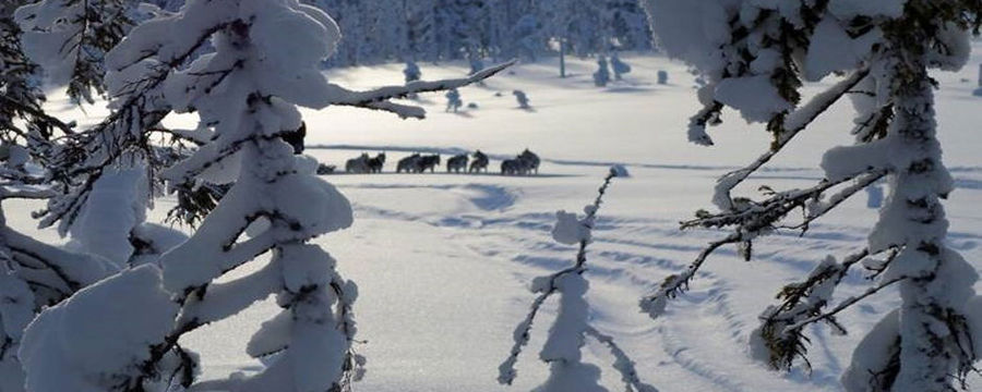 Ice fishing with sled dogs in Lapland