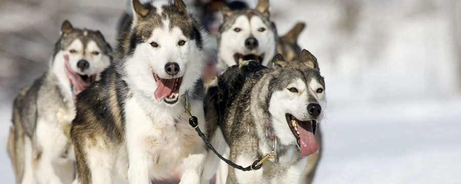 Husky Safari in the wilderness in Lapland