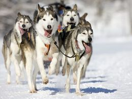 Dogsledding in Lapland