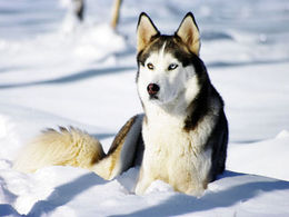 Dog sledding and the wilderness in Sweden