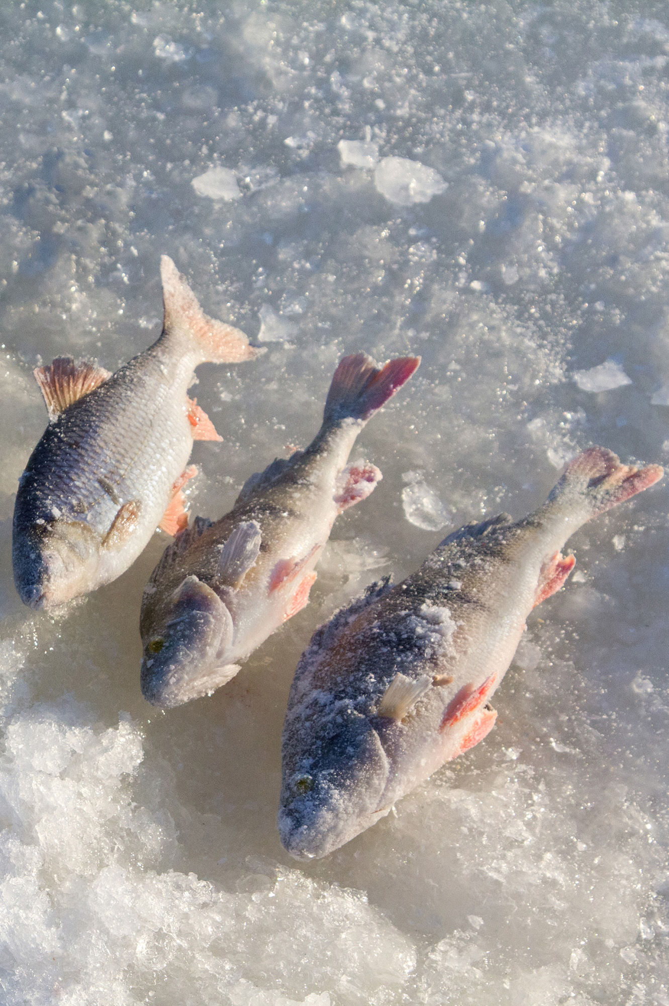 Ice fishing for perch, trout and grayling